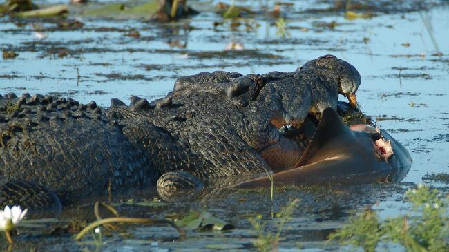 Croc Eats Shark